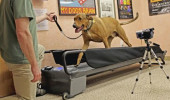 Treadmill_for_your_Dog+(7)